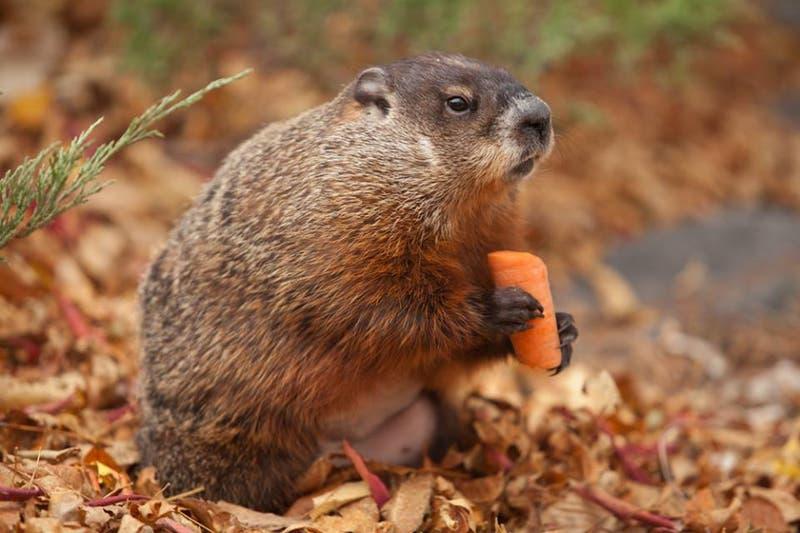 Rusia pide a habitantes de extremo oriente que no cacen marmotas para evitar peste bubónica