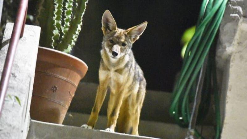 ¿Por qué hay coyotes merodeando por las calles de Los Ángeles?
