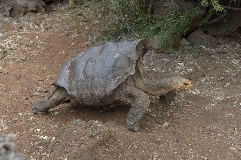 Diego, la tortuga súper macho que salvó a su especie en las Galápagos