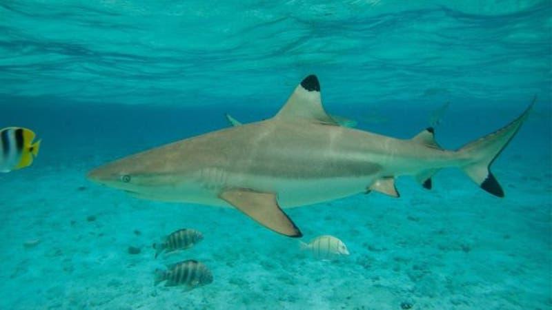 El tiburón de punta negra no ataca a humanos.