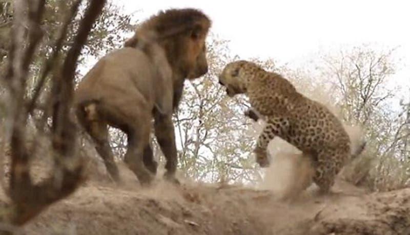 León ataca a leopardo dormido