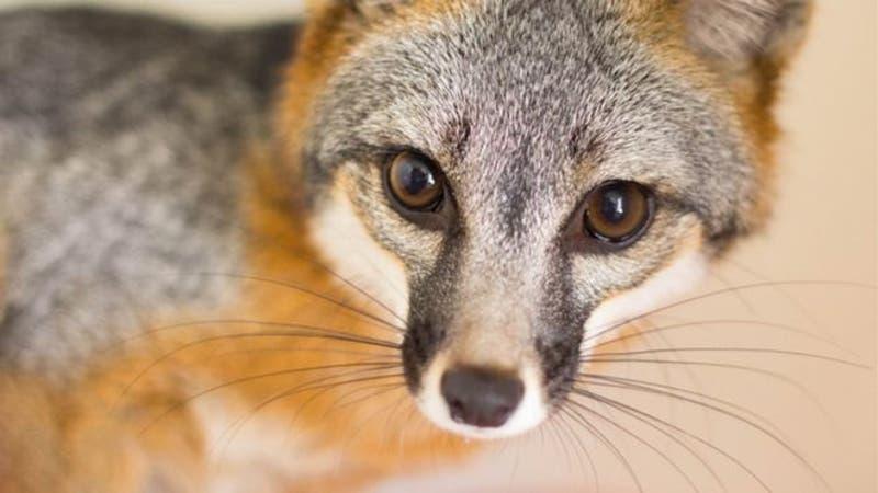 Astutos, pillos, veloces... los zorros se han ganado una fama que, según la ciencia, es bastante merecida.