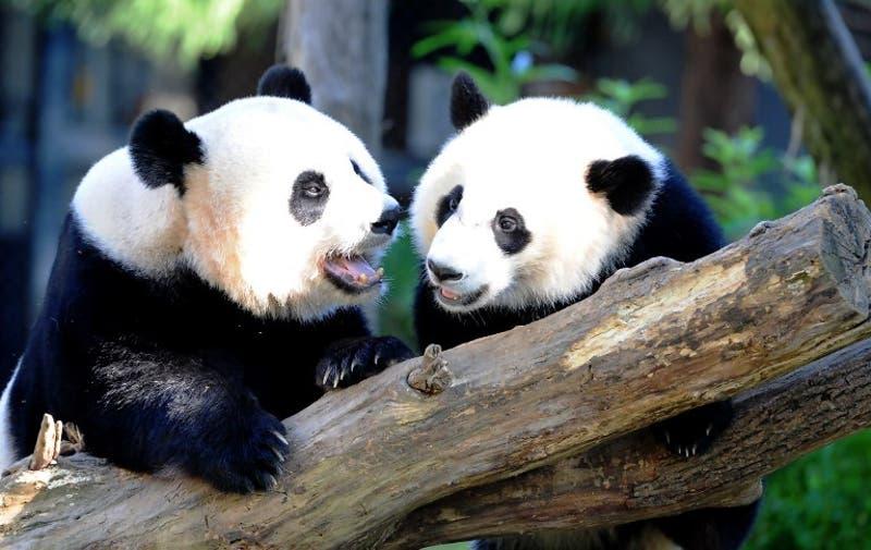 ¿Por qué los pandas son blanco y negro?