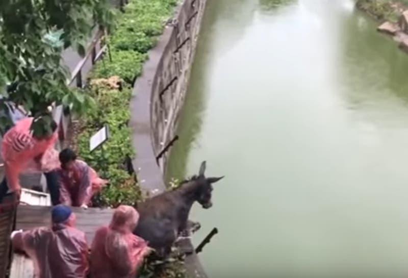 Usan a un burro vivo para alimentar a dos tigres