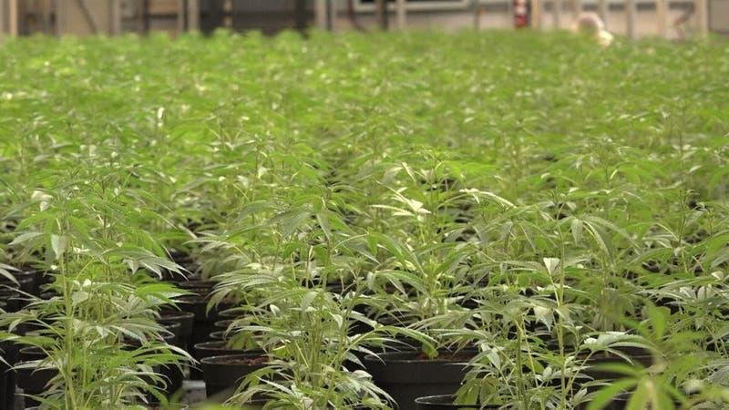 [VIDEO] Nueva York se abre a legalizar la marihuana
