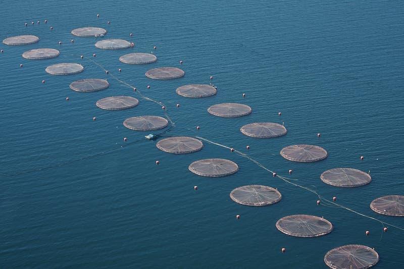 Sernapesca investiga alcances de nueva fuga de salmones en Los Lagos