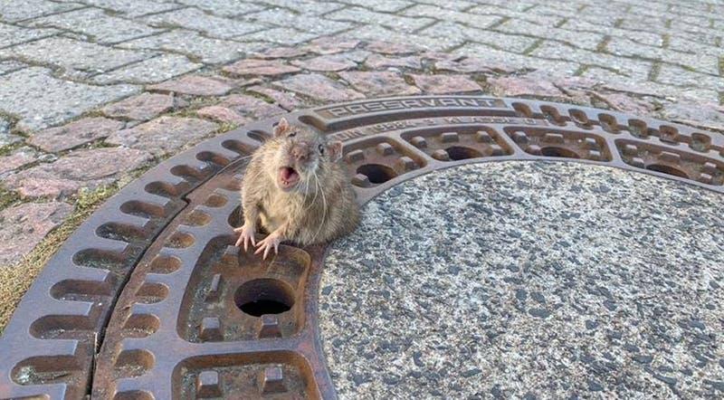 Alemania: Bomberos rescata a rata obesa atrapada en alcantarillado