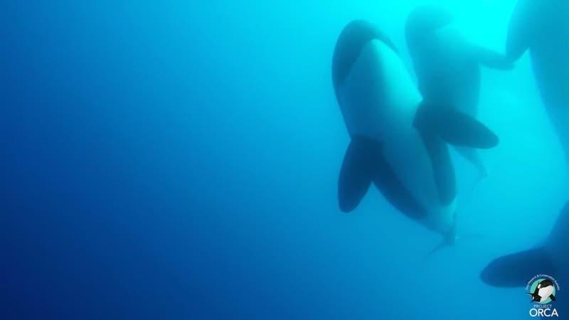 [VIDEO] Hallan desconocido tipo de orcas en Chile