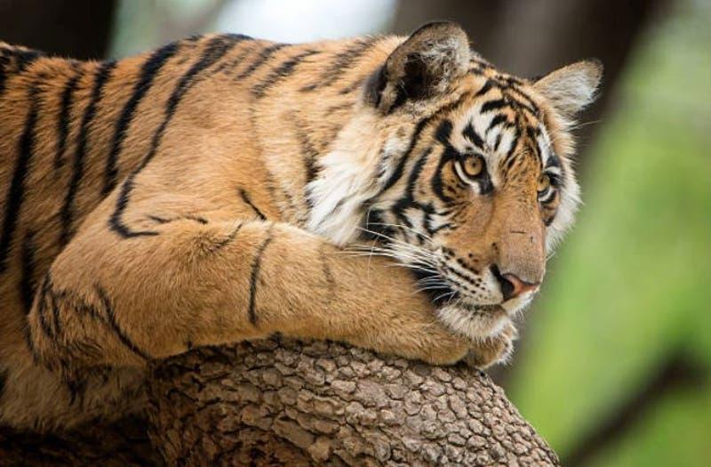 Tigre hiere gravemente a su cuidadora en un zoológico de Kansas