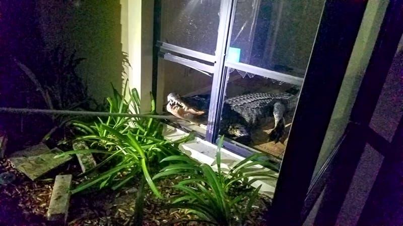 """[VIDEO] """"No sé como llegó hasta aquí"""": Mujer vive momentos de terror con un caimán en su casa"""