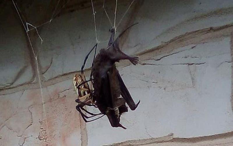 [VIDEO] Horripilante registro de una araña gigante comiéndose un murciélago