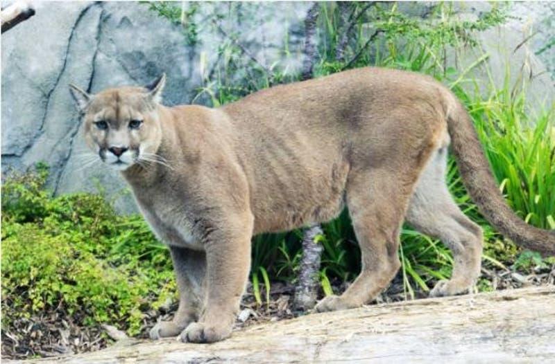 Puma muere atropellado en la ruta hacia Valparaíso