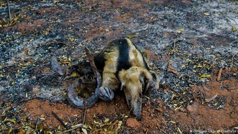 """Amazonas: """"Incendios destruyeron hogares de varias especies"""""""