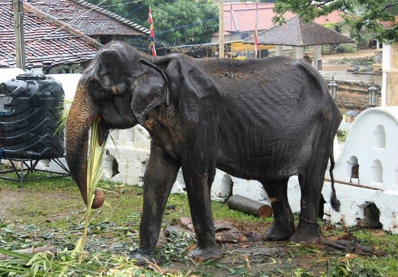 Muere Tikiri, la elefanta esquelética que provocó una gran polémica en Sri Lanka
