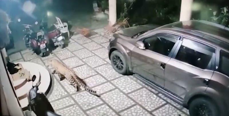 Registran momento exacto en que un leopardo ataca a un perro que dormía en la entrada de su casa