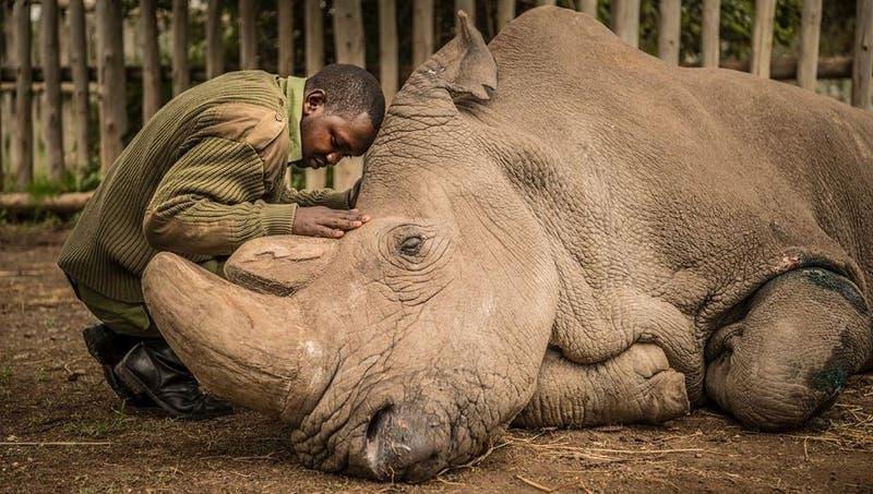 NatGeo escoge la muerte del último rinoceronte blanco macho del mundo como mejor foto de la década