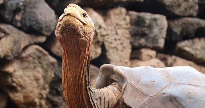 La historia de la tortuga Diego... que se apareó tanto que salvó a su especie