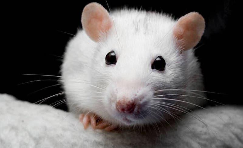 Científicos descubren rata que vivió sin cerebro (y pudo llevar una vida normal)