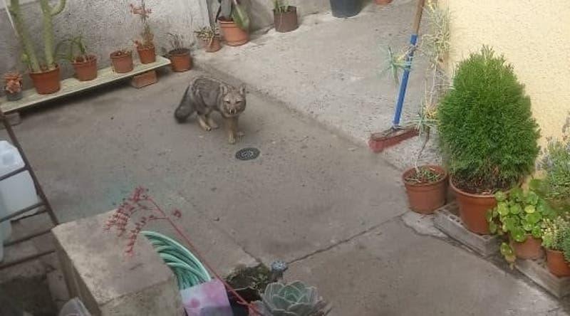 Encuentran ejemplar de zorro en patio de vivienda en San Antonio