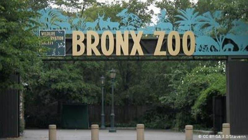COVID-19 avanza en Zoo del Bronx afectando cinco tigres y tres leones