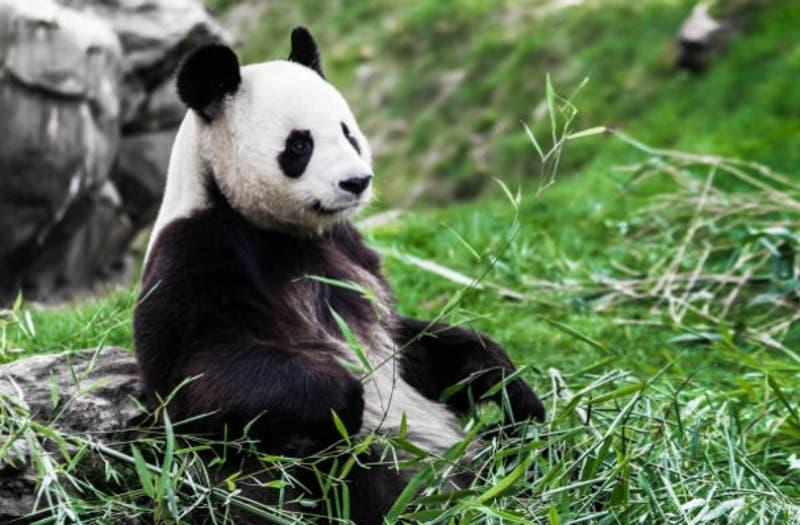 [FOTOS] El sorpresivo (pero esperanzador) primer nacimiento de un panda gigante en Holanda