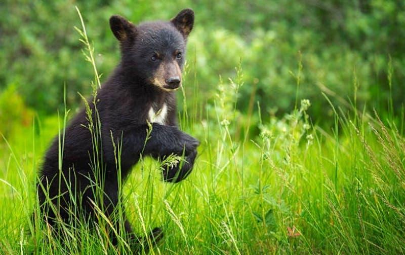[VIDEO] Pequeños osos negros sorprenden apareciendo en sector residencial en plena cuarentena