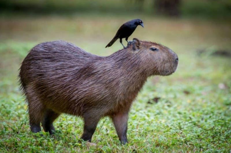 ¿Qué son los capibaras y por qué se tomaron las redes sociales?