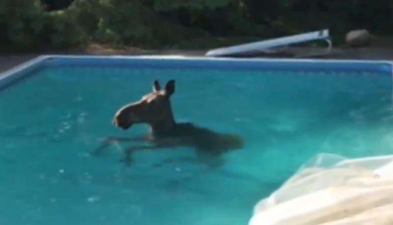 [VIDEO] Inesperada visita: Familia despertó y encontró un alce dentro de la piscina de su casa