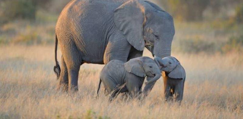 Muere elefanta embarazada tras ser alimentada con frutas que escondían explosivos en India