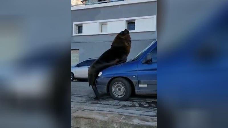 [VIDEO] Efecto cuarentena: Lobos marinos se tomaron la costanera y uno de ellos se subió a un auto