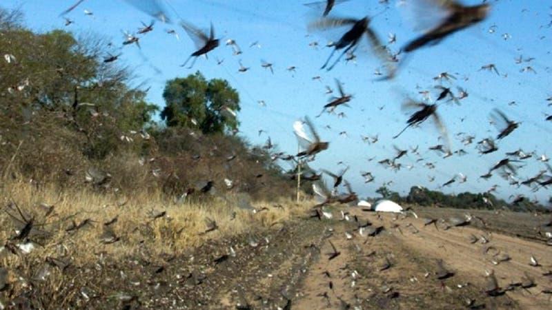 Argentina en alerta por plaga de langostas que pueden comer lo mismo que 350 mil personas