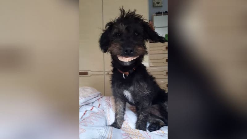 [VIDEO] Perro roba dentadura postiza de una abuela y provoca carcajadas en redes sociales