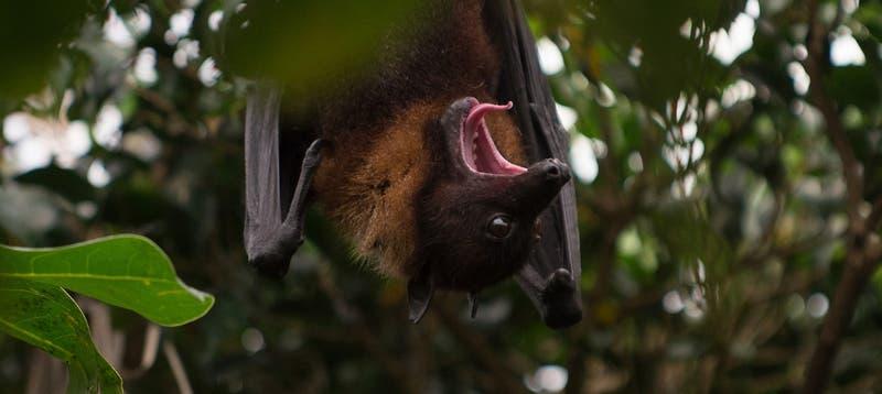 Del tamaño de un humano: Éste es el murciélago gigante que se volvió viral en redes sociales