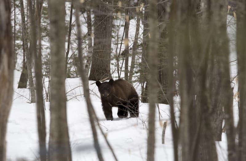 Donald Trump autoriza la caza osos y lobos en Alaska