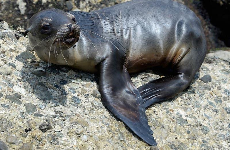 Efecto cuarentena: captan a lobo marino varado en medio de la carretera en Osorno