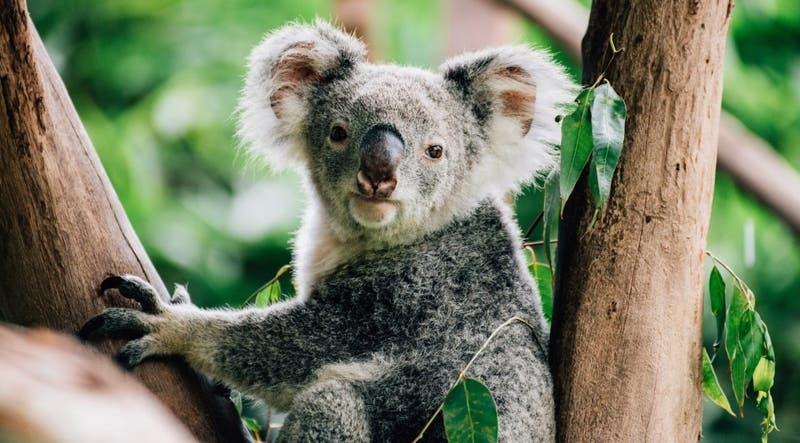 [VIDEO] El conmovedor retorno de los koalas a los bosques devastados por los incendios forestales