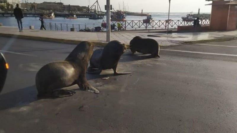 [VIDEO] Efecto cuarentena: Lobos marinos interrumpen tránsito en Antofagasta