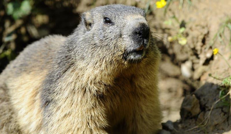 Adolescente muere de peste bubónica tras comer marmota infectada en Mongolia