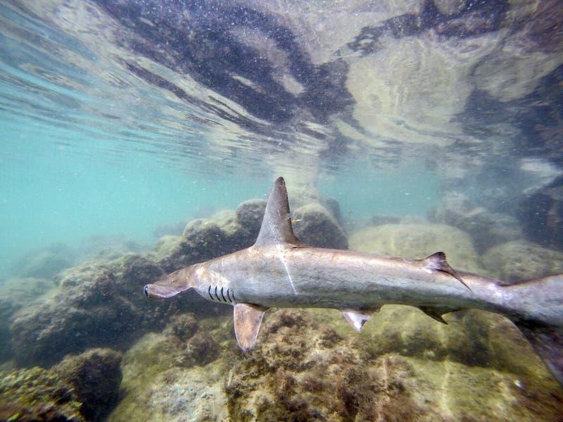 Observan dos nuevas variedades de tiburón en Galápagos