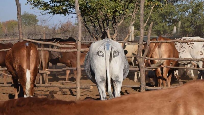 Dueños de ganado en Botswana dibujan ojos los traseros de las vacas para espantar leones