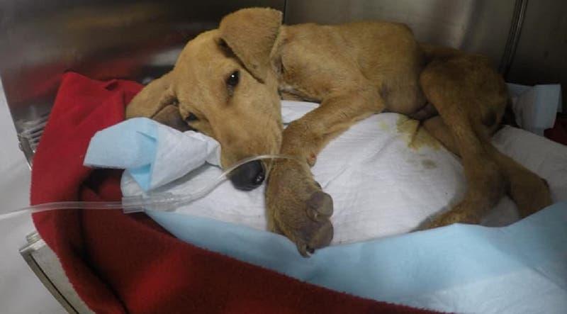 Cachorro de seis meses murió tras sufrir agresión sexual en Arica