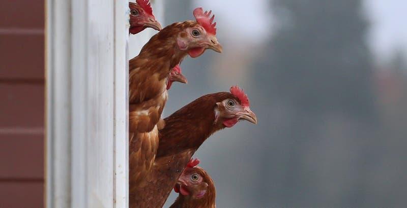 SAG investiga muerte de una veintena de gallinas en San Juana