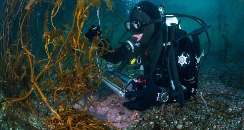 Bosques submarinos de la Patagonia presentan adaptaciones únicas al cambio climático
