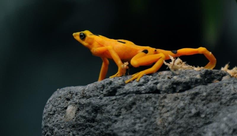 """Comunidad científica en alerta por """"superhongo"""" que podría exterminar a anfibios en Panamá"""