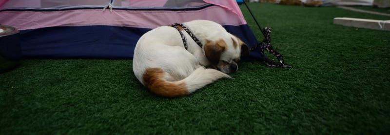 """Las razones por la que tu perro """"corre"""" mientras está durmiendo"""