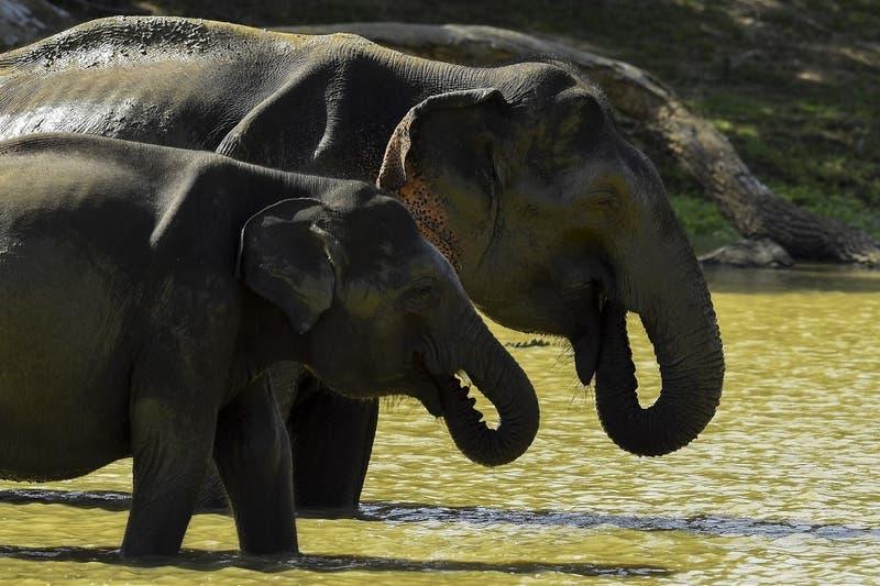 Captan a elefantes buscando comida en la basura
