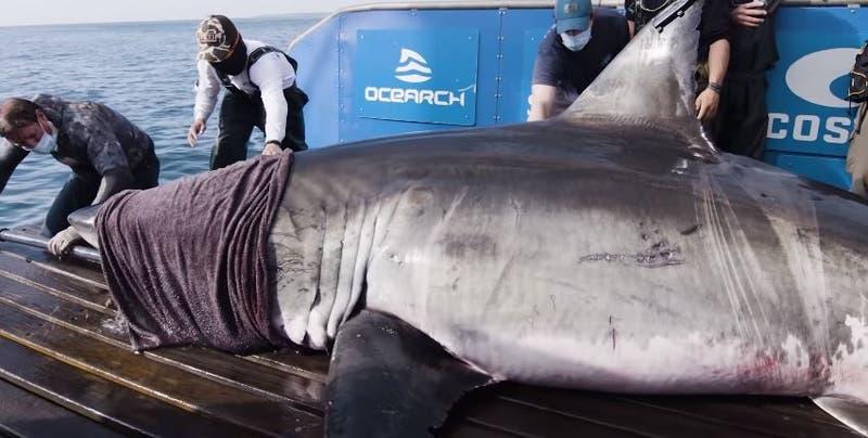 Descubren tiburón gigante: la llaman Reina del océano