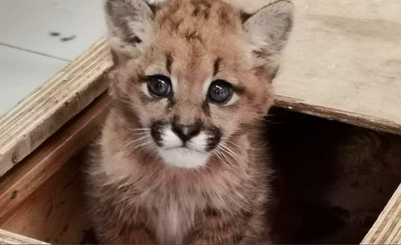 La razón por la que este pequeño puma se quedará en el Zoológico Metropolitano
