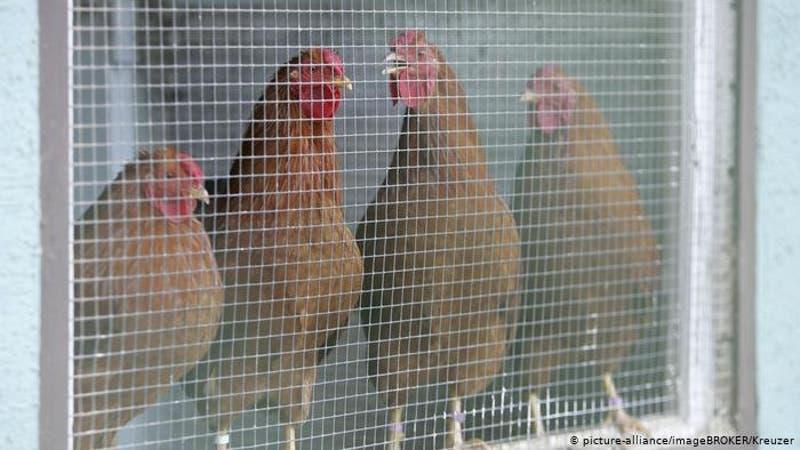 Dinamarca sacrifica 25.000 aves de corral tras detectar gripe aviaria en una granja