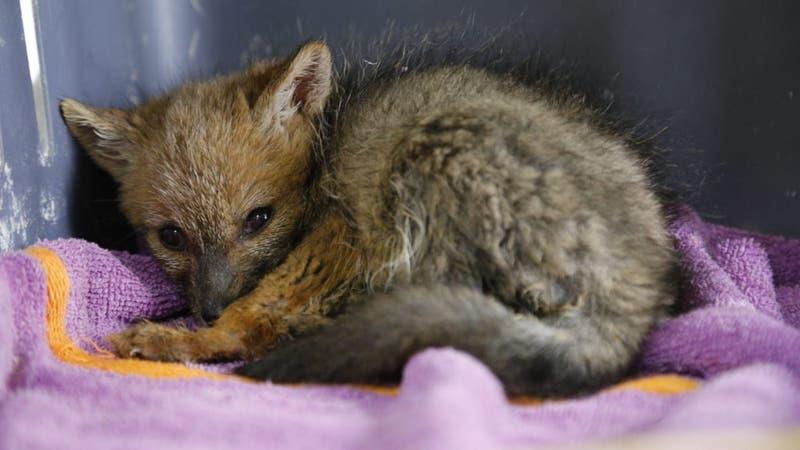 Familia de Melipilla capturó a zorro chilla e intentó tenerlo de mascota